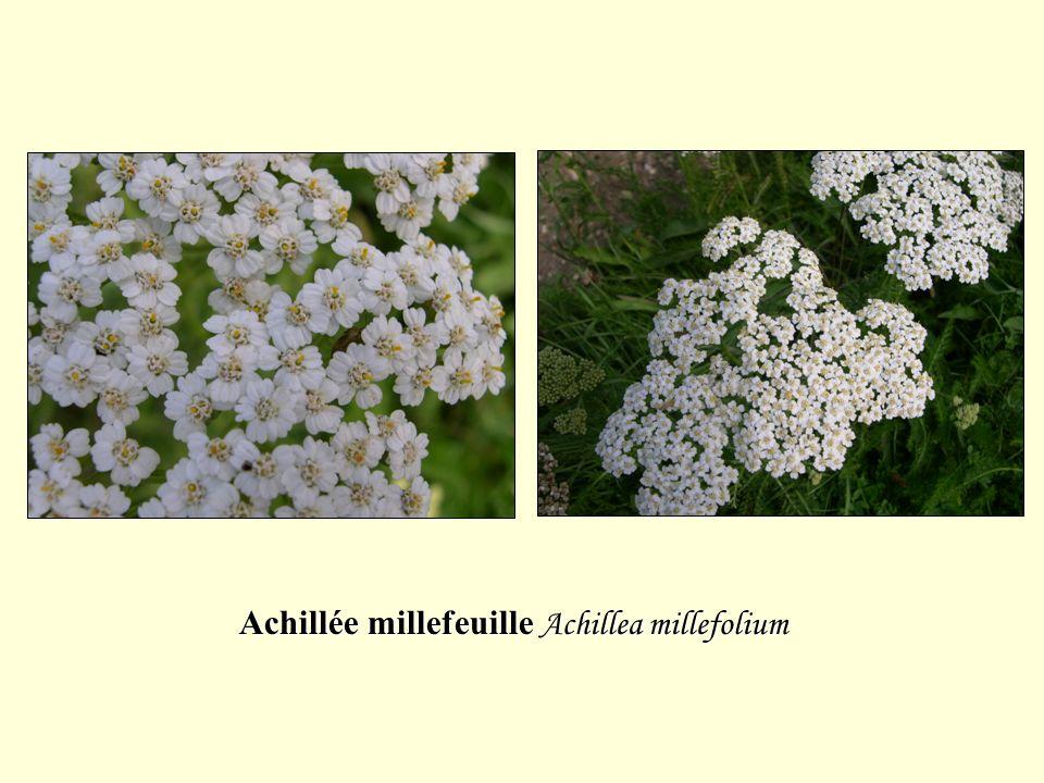 Achillée millefeuille Achillea millefolium
