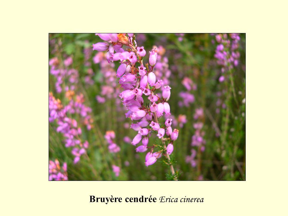 Bruyère cendrée Erica cinerea