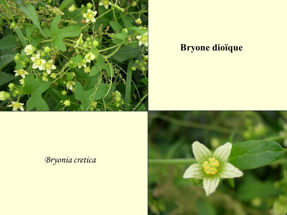 Bryone dioïque Bryonia cretica