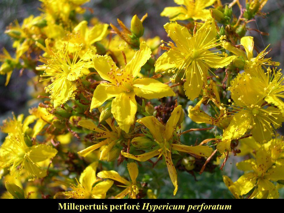 Millepertuis perforé Hypericum perforatum