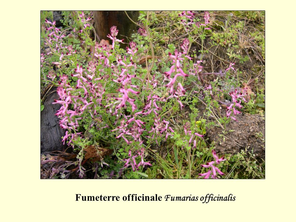 Fumeterre officinale Fumarias officinalis
