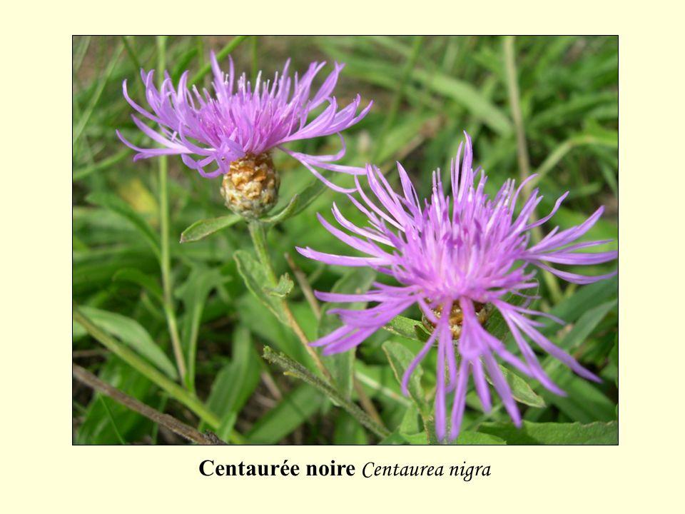 Centaurée noire Centaurea nigra