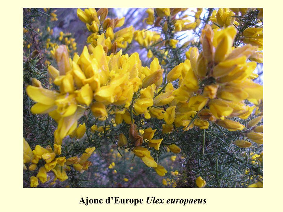 Ajonc dEurope Ulex europaeus