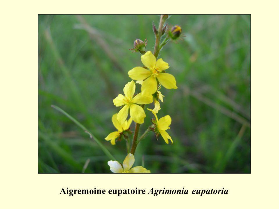 Aigremoine eupatoire Agrimonia eupatoria