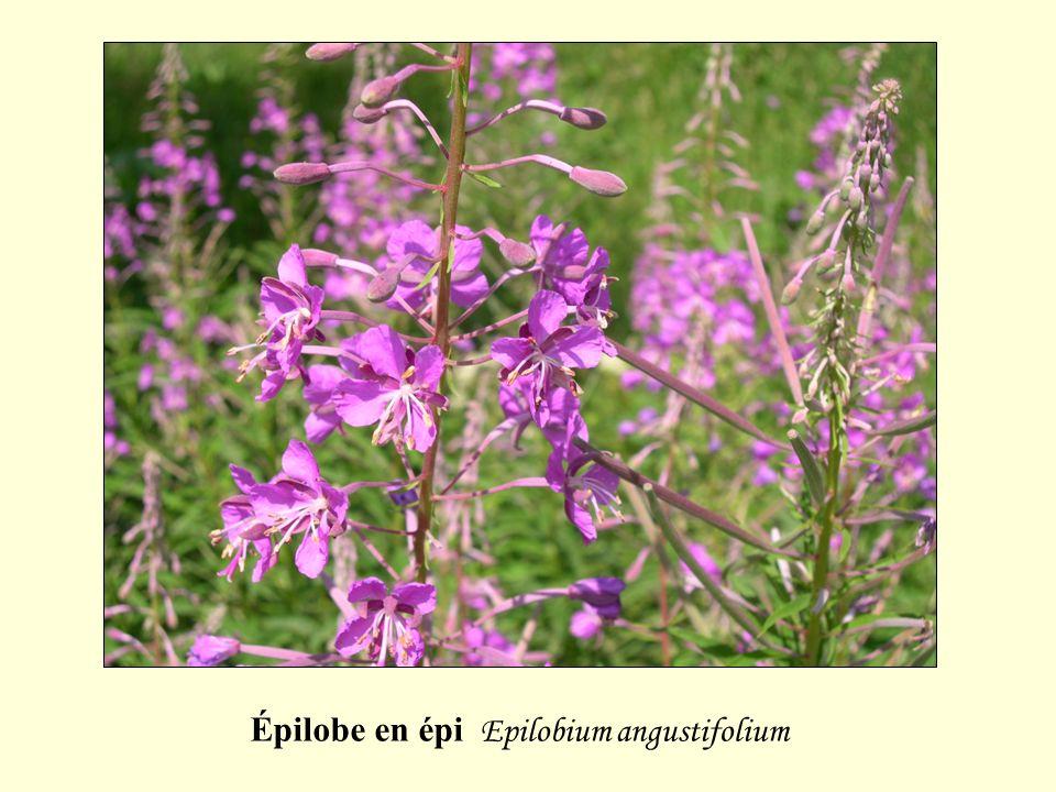 Épilobe en épi Epilobium angustifolium