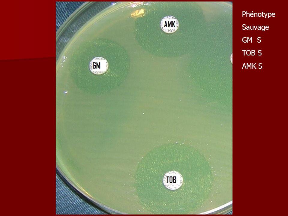 Phénotype Sauvage GM S TOB S AMK S