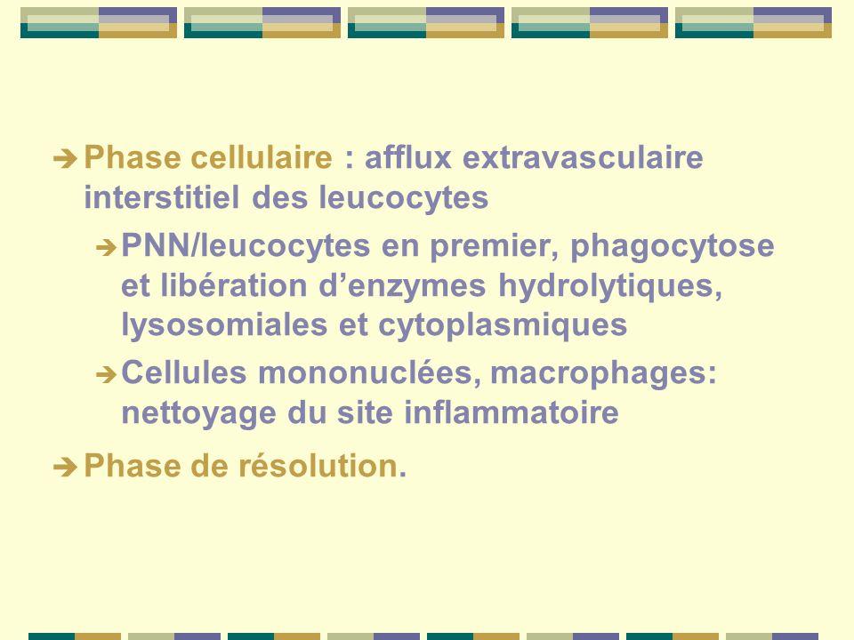 Phase cellulaire : afflux extravasculaire interstitiel des leucocytes PNN/leucocytes en premier, phagocytose et libération denzymes hydrolytiques, lys