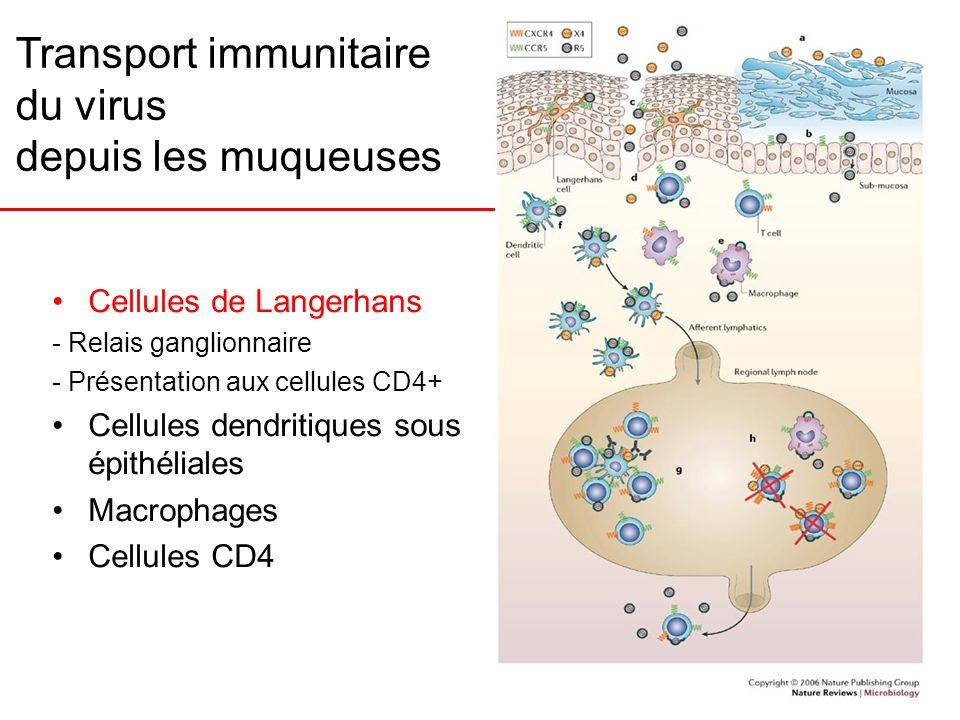 Transport immunitaire du virus depuis les muqueuses Cellules de Langerhans - Relais ganglionnaire - Présentation aux cellules CD4+ Cellules dendritiqu