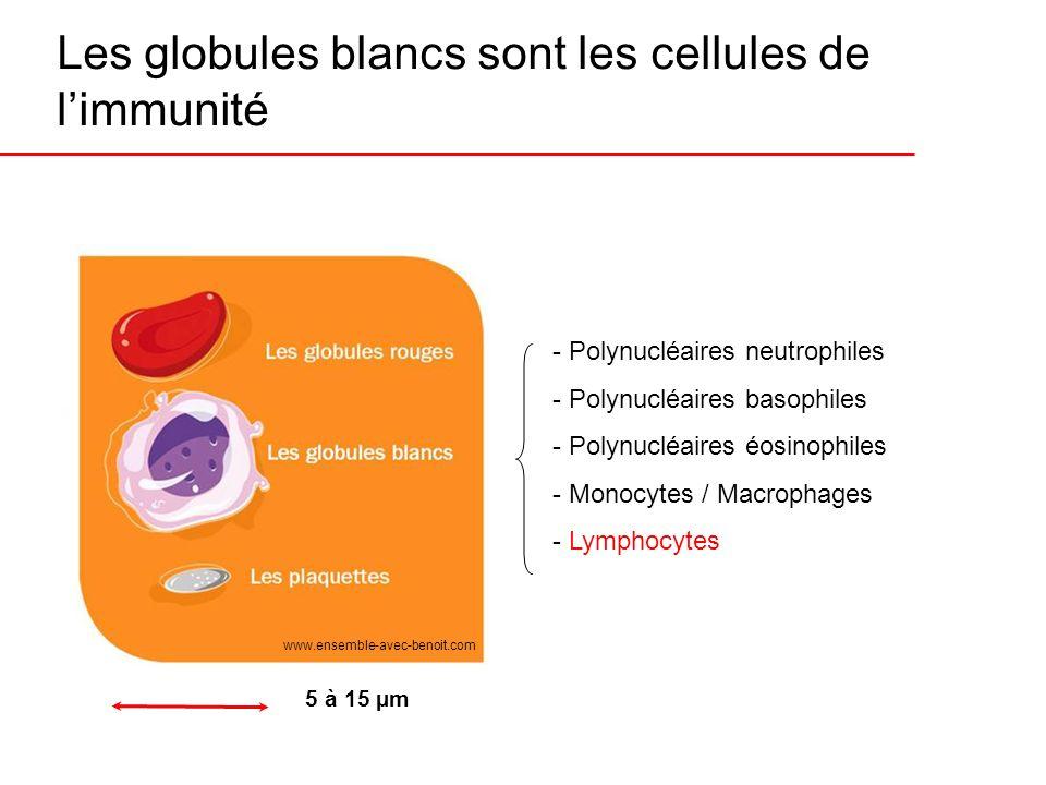 Les globules blancs sont les cellules de limmunité www.ensemble-avec-benoit.com - Polynucléaires neutrophiles - Polynucléaires basophiles - Polynucléa