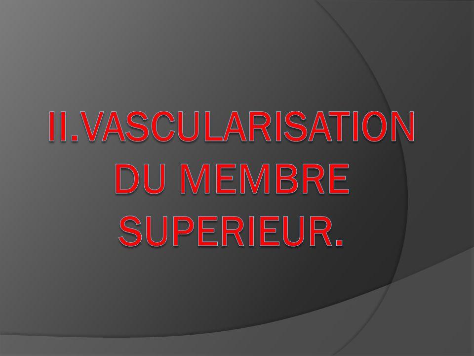 Collatérales : rameaux musculaires au niveau proximal : artère récurrente radiale, qui va sanastomoser avec le rameau antérieur de lartère brachiale profonde, et qui va donc participer à la vascularisation du coude.
