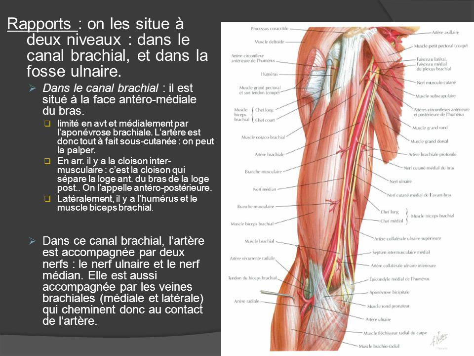 Rapports : on les situe à deux niveaux : dans le canal brachial, et dans la fosse ulnaire. Dans le canal brachial : il est situé à la face antéro-médi