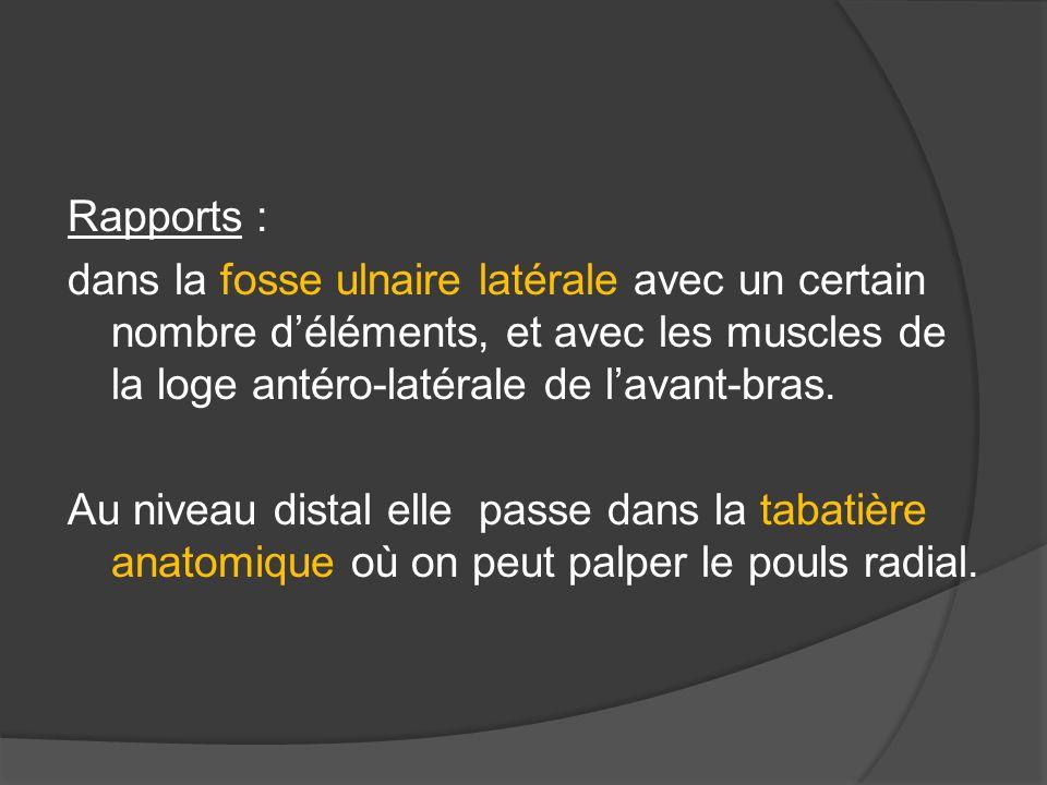 Rapports : dans la fosse ulnaire latérale avec un certain nombre déléments, et avec les muscles de la loge antéro-latérale de lavant-bras. Au niveau d