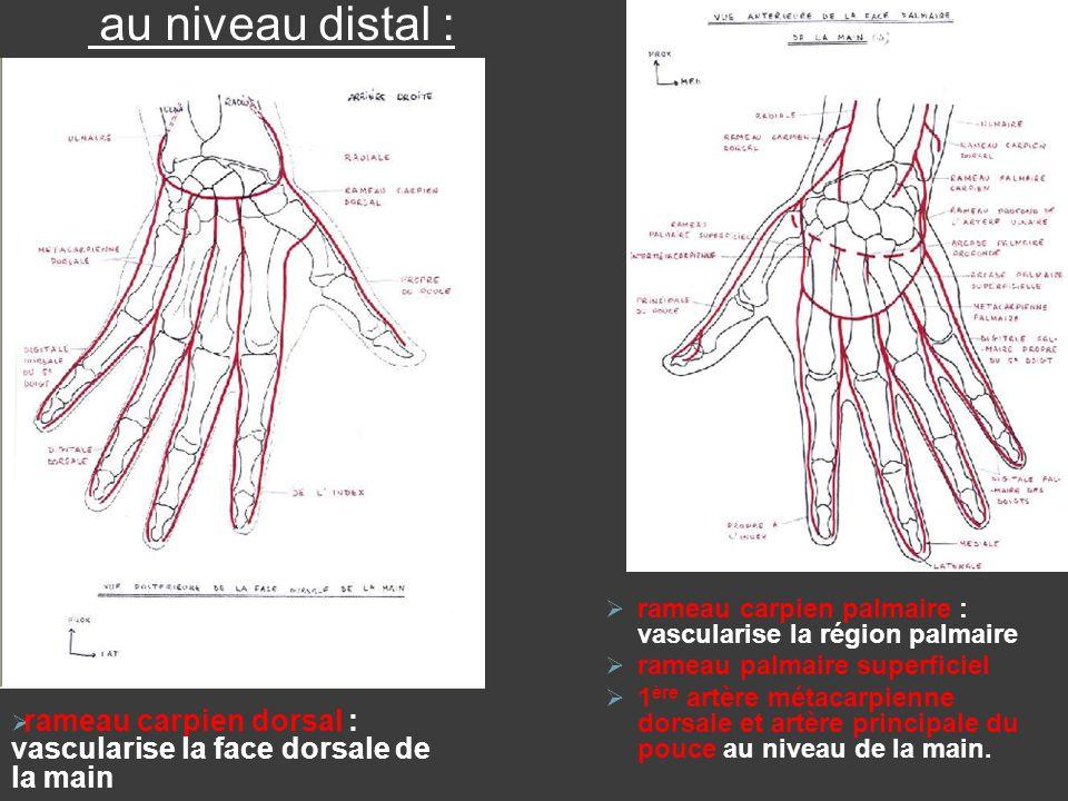 rameau carpien dorsal : vascularise la face dorsale de la main rameau carpien palmaire : vascularise la région palmaire rameau palmaire superficiel 1