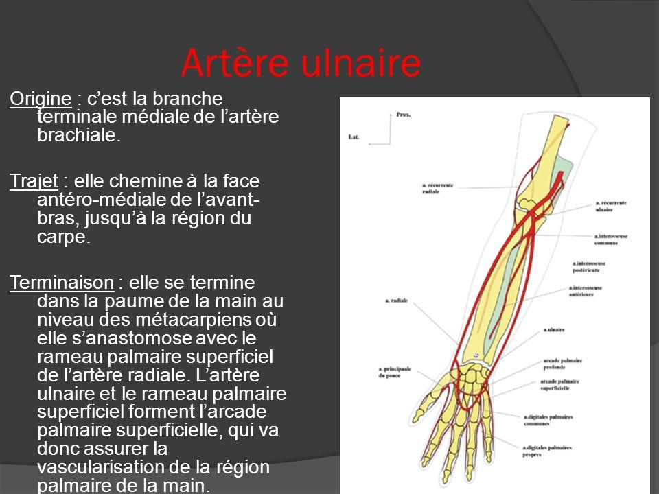Artère ulnaire Origine : cest la branche terminale médiale de lartère brachiale. Trajet : elle chemine à la face antéro-médiale de lavant- bras, jusqu