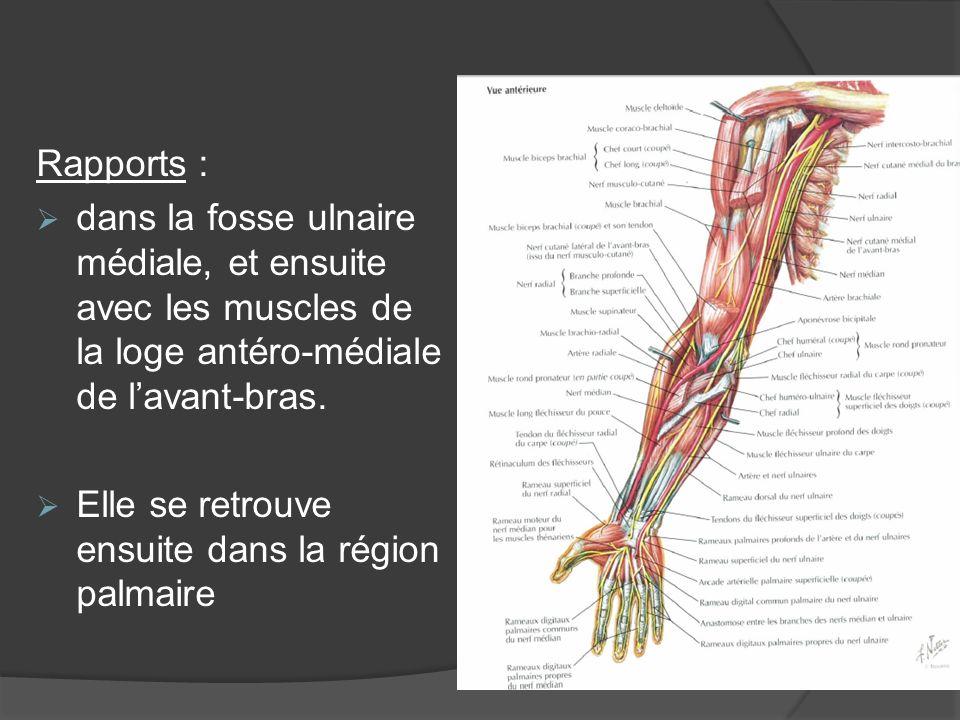 Rapports : dans la fosse ulnaire médiale, et ensuite avec les muscles de la loge antéro-médiale de lavant-bras. Elle se retrouve ensuite dans la régio