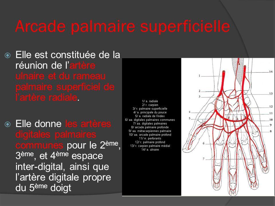 Arcade palmaire superficielle Elle est constituée de la réunion de lartère ulnaire et du rameau palmaire superficiel de lartère radiale. Elle donne le