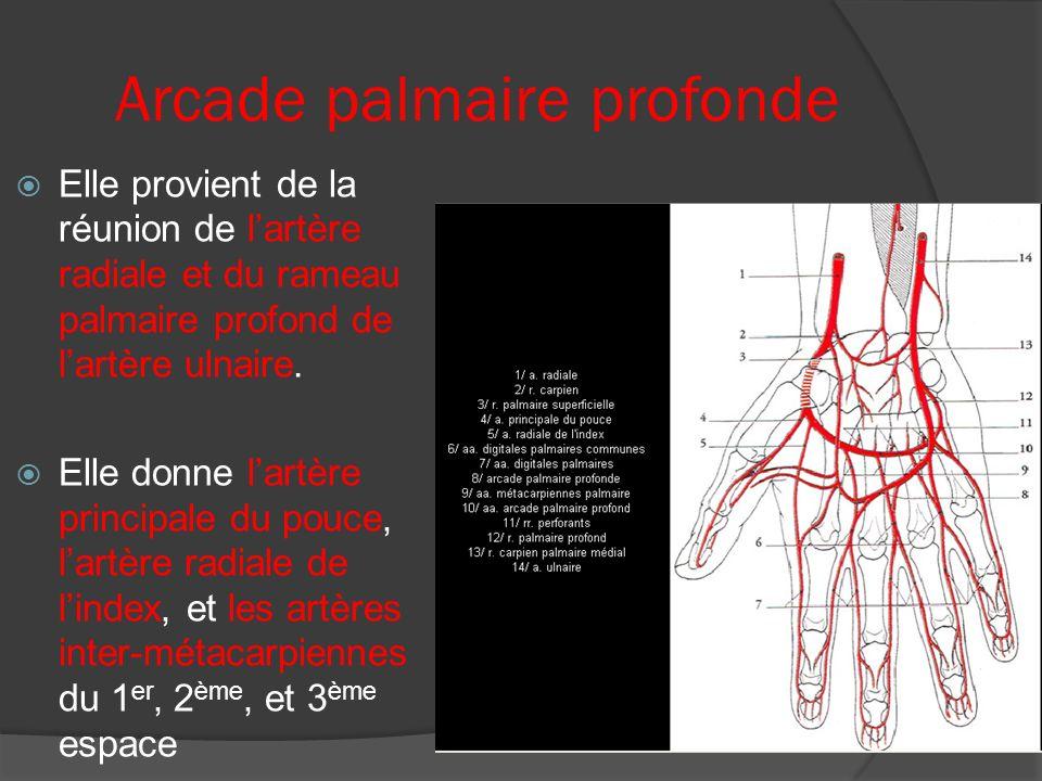 Arcade palmaire profonde Elle provient de la réunion de lartère radiale et du rameau palmaire profond de lartère ulnaire. Elle donne lartère principal