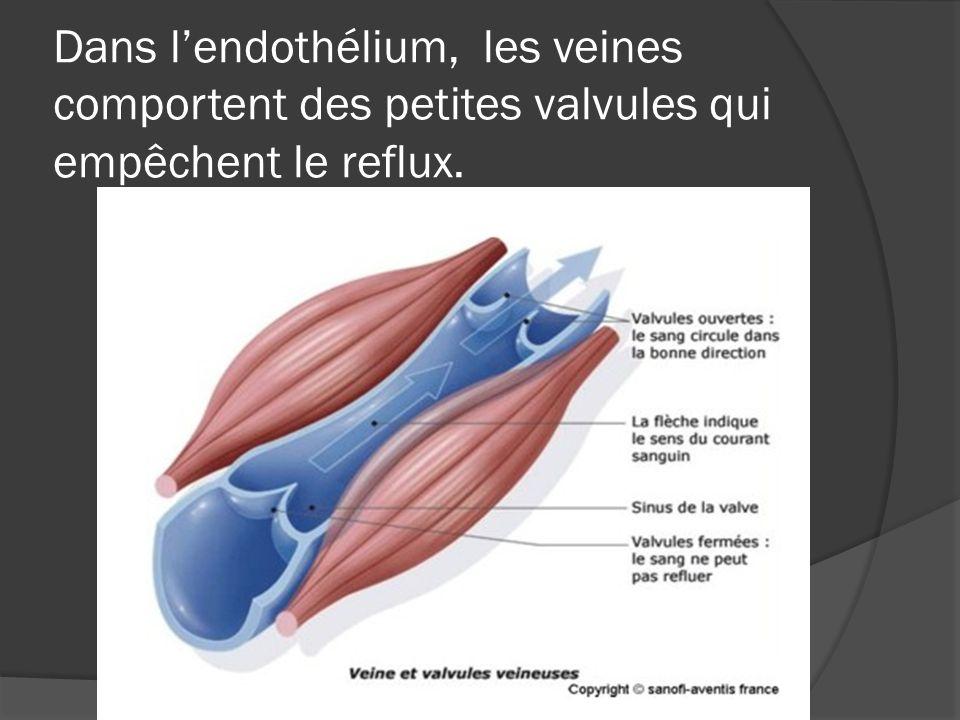 Dans lendothélium, les veines comportent des petites valvules qui empêchent le reflux.