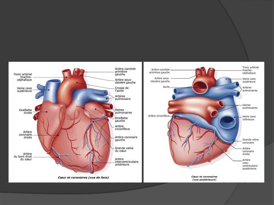 Système artèriel du membre supérieur A droite l artère sous-clavière naît du tronc brachio-céphalique, alors quà gauche elle naît directement de la crosse aortique.