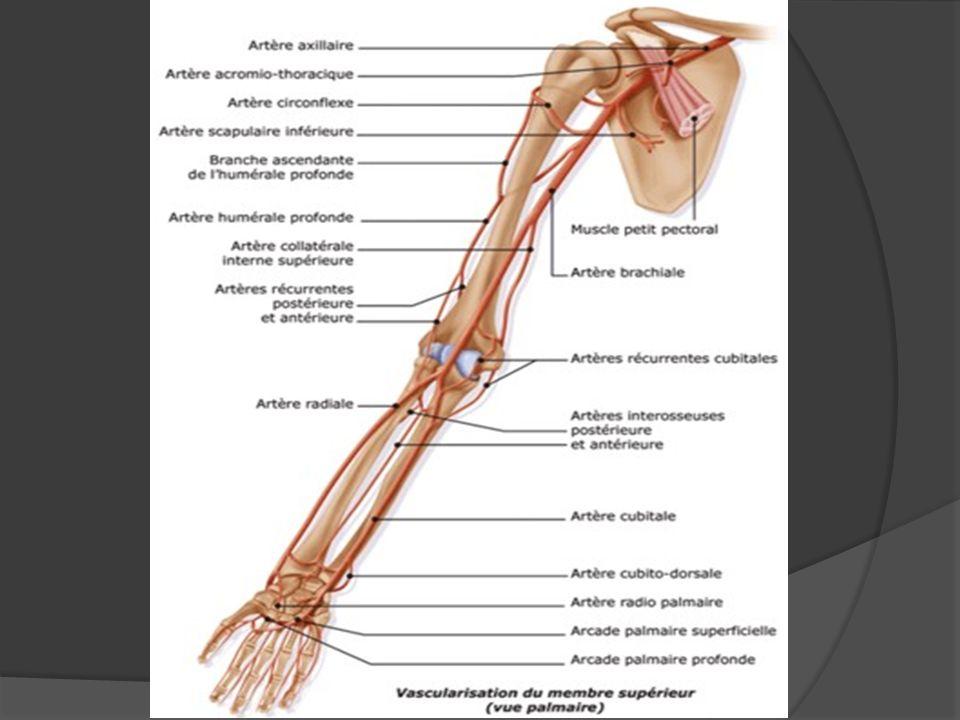 Artère axillaire Origine: Elle naît au niveau du bord inférieur de la clavicule, par changement de nom de lartère sub- clavière (qui vient de la région aortique).