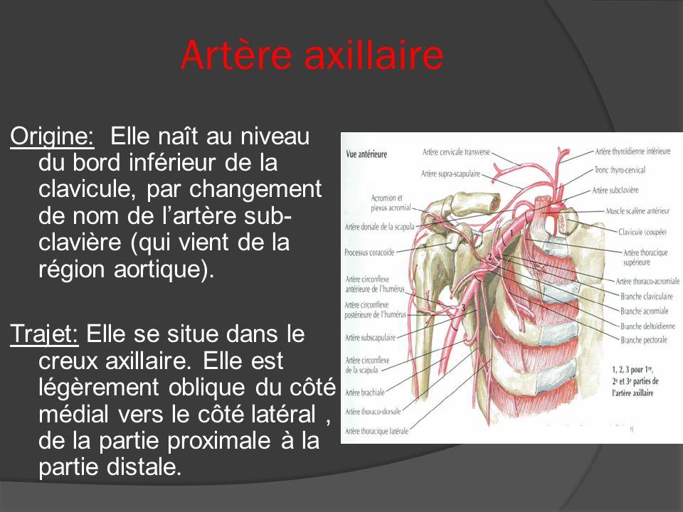 Artère axillaire Origine: Elle naît au niveau du bord inférieur de la clavicule, par changement de nom de lartère sub- clavière (qui vient de la régio