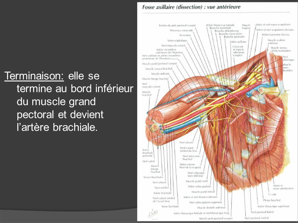 Rapports dans le creux aillaire: Orifice dentrée: supérieur limité en avt par la clavicule et le m.