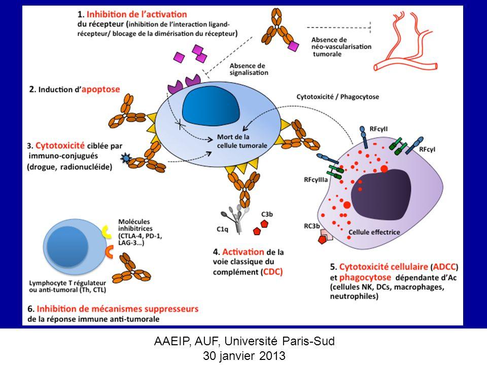 AAEIP, AUF, Université Paris-Sud 30 janvier 2013 Induction dune réponse immune adaptative cellulaire à long-terme : le cas des AcM anti-HER2/neu et anti-CD20 Cancer Cell, 2010, 68: 160-70 The Therapeutic Effect of Anti-HER2/neu Antibody Depends on Both Innate and Adaptive Immunity SaeGwang Park, Zhujun Jiang, Eric D.