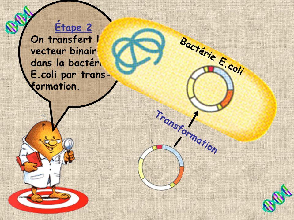 Sais-tu comment transférer le vecteur binaire dans les cellules de tomates? Lintroduire directement dans Agrobacterium? En fait, non! Il faut passer p