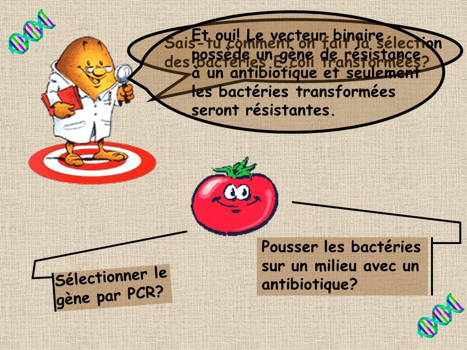 Étape 2 On transfert le vecteur binaire dans la bactérie E.coli par trans- formation. Transformation Bactérie E.coli