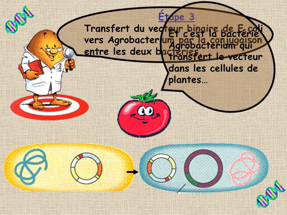 Sais-tu comment on fait la sélection des bactéries E.coli transformées? Pousser les bactéries sur un milieu avec un antibiotique? Et oui! Le vecteur b