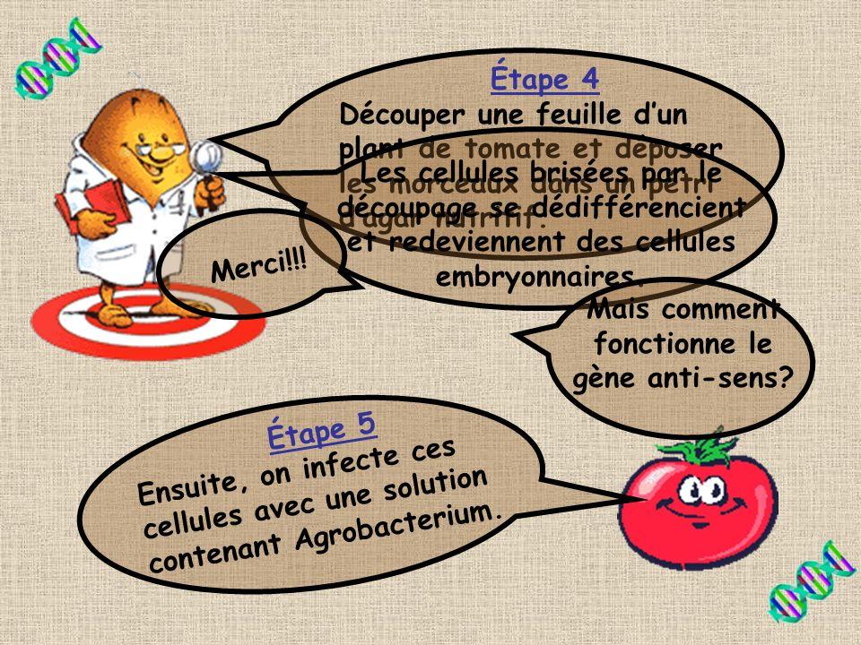 Étape 3 Transfert du vecteur binaire de E.coli vers Agrobacterium par la conjugaison entre les deux bactéries. Et cest la bactérie Agrobacterium qui t