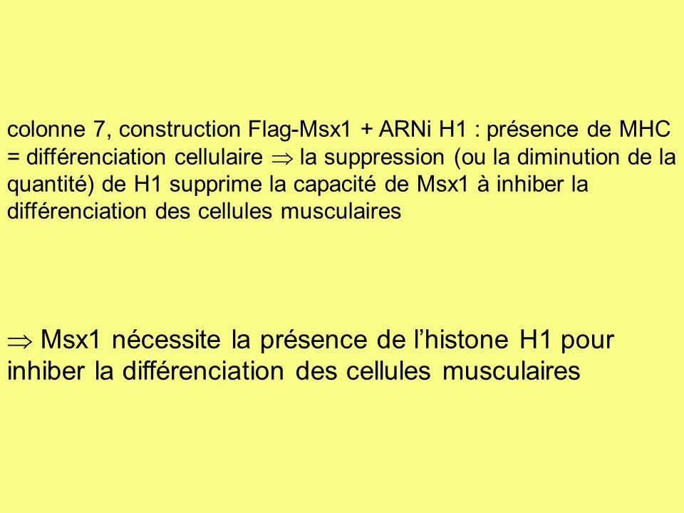 colonne 7, construction Flag-Msx1 + ARNi H1 : présence de MHC = différenciation cellulaire la suppression (ou la diminution de la quantité) de H1 supp