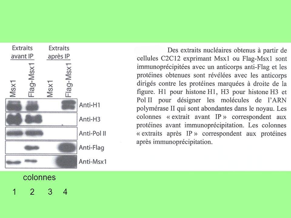 Correction Elucidation du protocole cellule normale cellules C2C12 (avec ou sans Flag) protéine Msx1 cellule musculaire différenciée gène Msx1 Ac anti-Msx1 gène Flag Ac anti-Flag Flag-Msx1