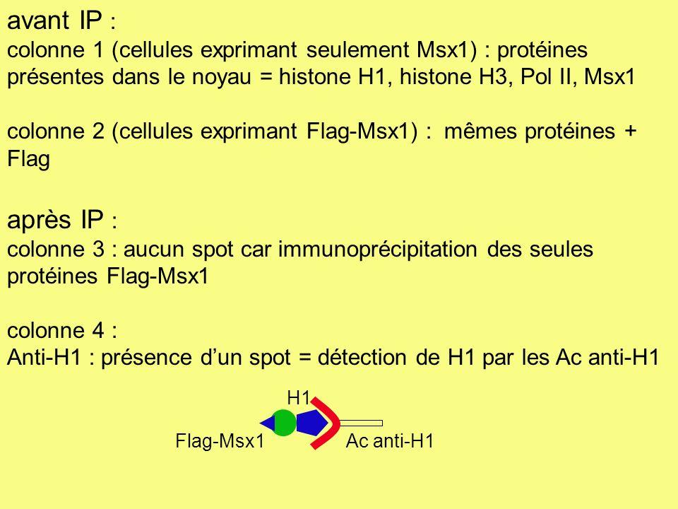 Anti-H3 : absence de spot = absence de détection de H3 par les Ac anti-H3 (marquage de H3 seulement si liaison à Msx1) Anti-Pol II : absence de spot = absence de détection de Pol II par les Ac anti-Pol II Anti-Flag et Anti-Msx1 : présence de spots = détection normale de Flag-Msx1 par les Ac anti-Flag et les Ac anti-Msx1 Msx1 se lie seulement à la protéine histone H1 mais ni à la protéine histone H3 ni à la Pol II : la liaison entre Msx1 et H1 semble H3 libre Flag-Msx1 Ac anti-H3 (mis en présence de Flag-Msx1 exclusivement) spécifique