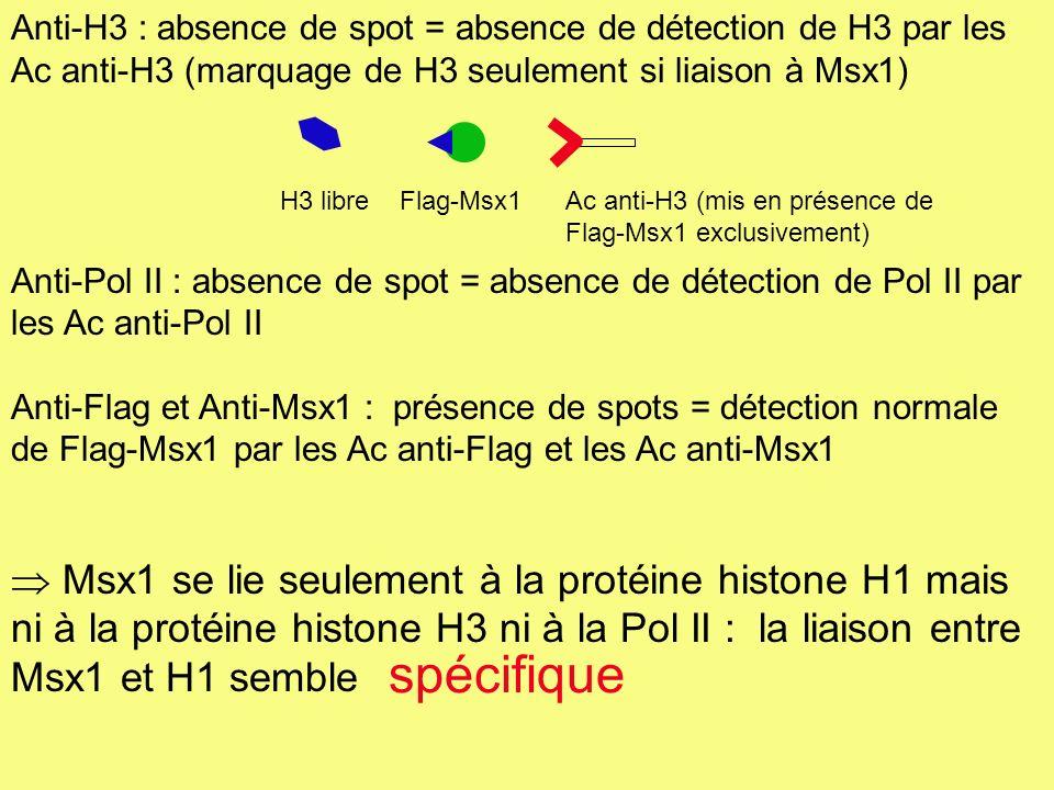 Anti-H3 : absence de spot = absence de détection de H3 par les Ac anti-H3 (marquage de H3 seulement si liaison à Msx1) Anti-Pol II : absence de spot =