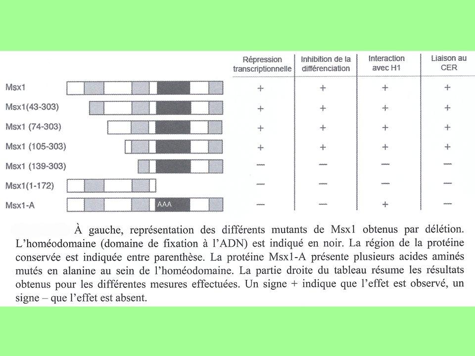 Correction Msx1 entière (contrôle) ou avec délétions 1-42, 1-73 ou 1-104 : résultats identiques = pas deffets des délétions situées en amont de lacide aminé 105 sur la liaison de Msx1 sur lADN délétion 1-138 : suppression de la répression transcriptionnelle de MyoD, de linhibition de la différenciation, de linteraction avec H1 et de la liaison au CER région 105-139 nécessaire au rôle de Msx1 et à tous ses effets cellulaires = nécessité de lintégrité de la région 105-139 délétion de lhoméodomaine et la partie en aval de celui-ci : effets identiques à la délétion 1-138 malgré le maintien de la région essentielle 105-139 la région 105-139 est nécessaire mais pas suffisante pour permettre à Msx1 dassurer son rôle