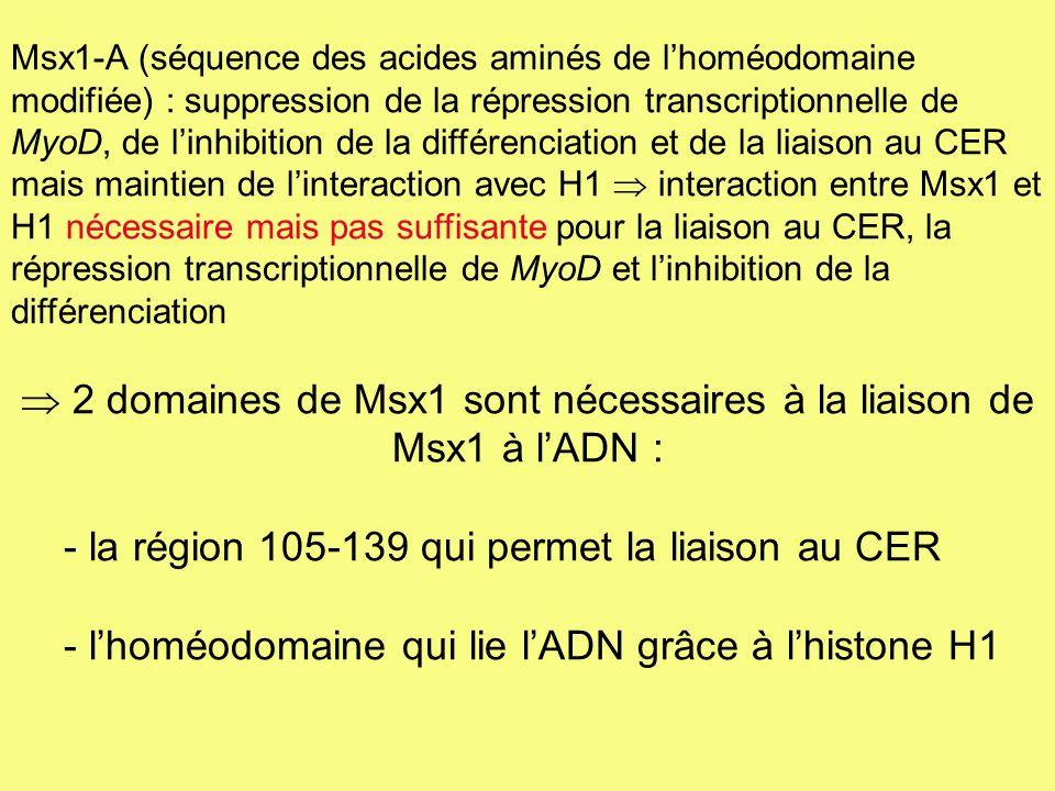Msx1-A (séquence des acides aminés de lhoméodomaine modifiée) : suppression de la répression transcriptionnelle de MyoD, de linhibition de la différen