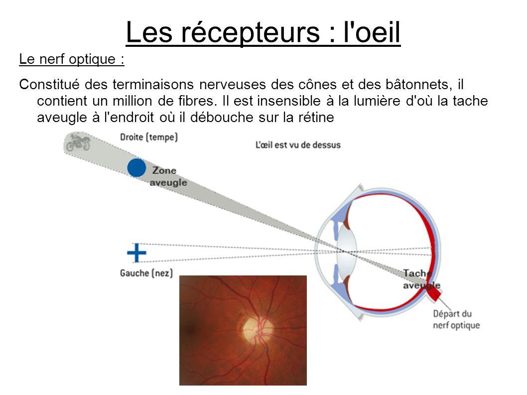 Les récepteurs : l'oeil Le nerf optique : Constitué des terminaisons nerveuses des cônes et des bâtonnets, il contient un million de fibres. Il est in