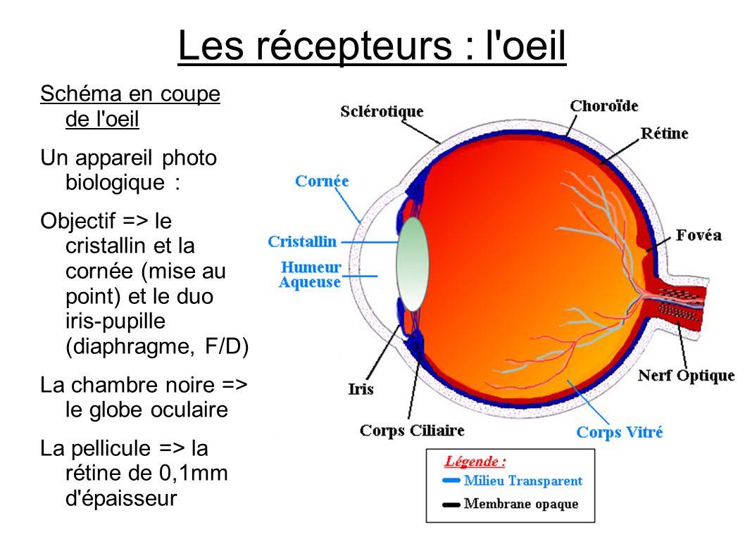 Les récepteurs : l'oeil Schéma en coupe de l'oeil Un appareil photo biologique : Objectif => le cristallin et la cornée (mise au point) et le duo iris