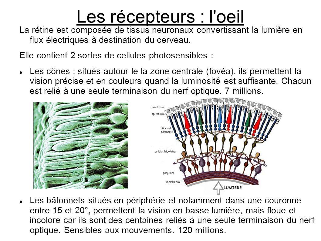 Les récepteurs : l'oeil La rétine est composée de tissus neuronaux convertissant la lumière en flux électriques à destination du cerveau. Elle contien