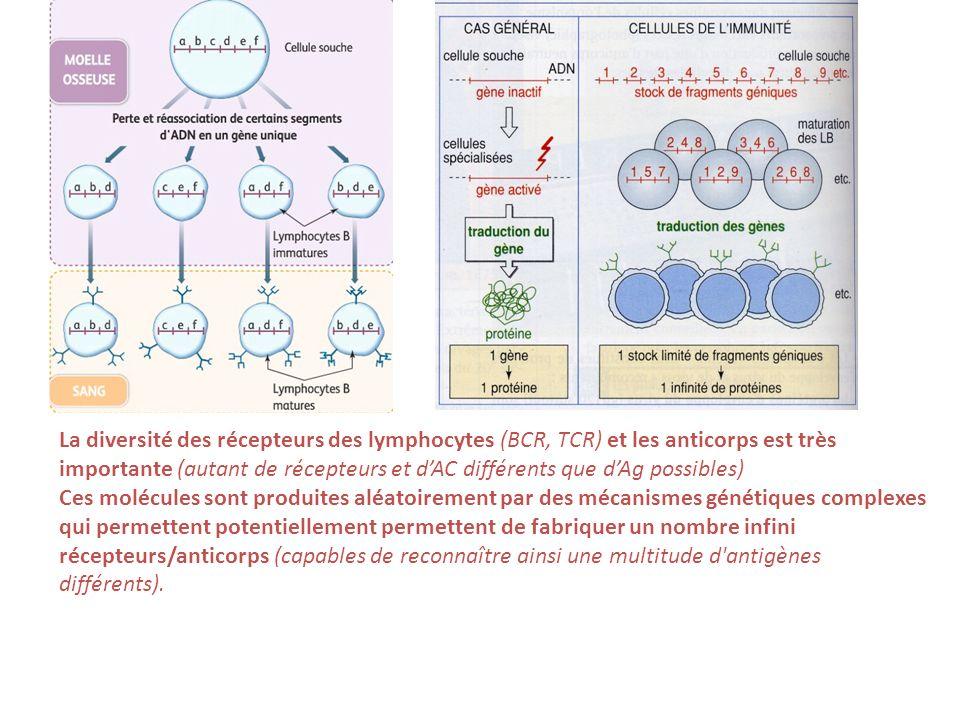 La diversité des récepteurs des lymphocytes (BCR, TCR) et les anticorps est très importante (autant de récepteurs et dAC différents que dAg possibles)