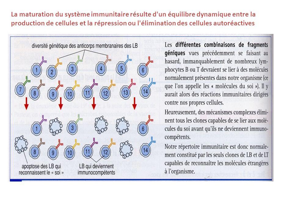 La maturation du système immunitaire résulte d'un équilibre dynamique entre la production de cellules et la répression ou l'élimination des cellules a