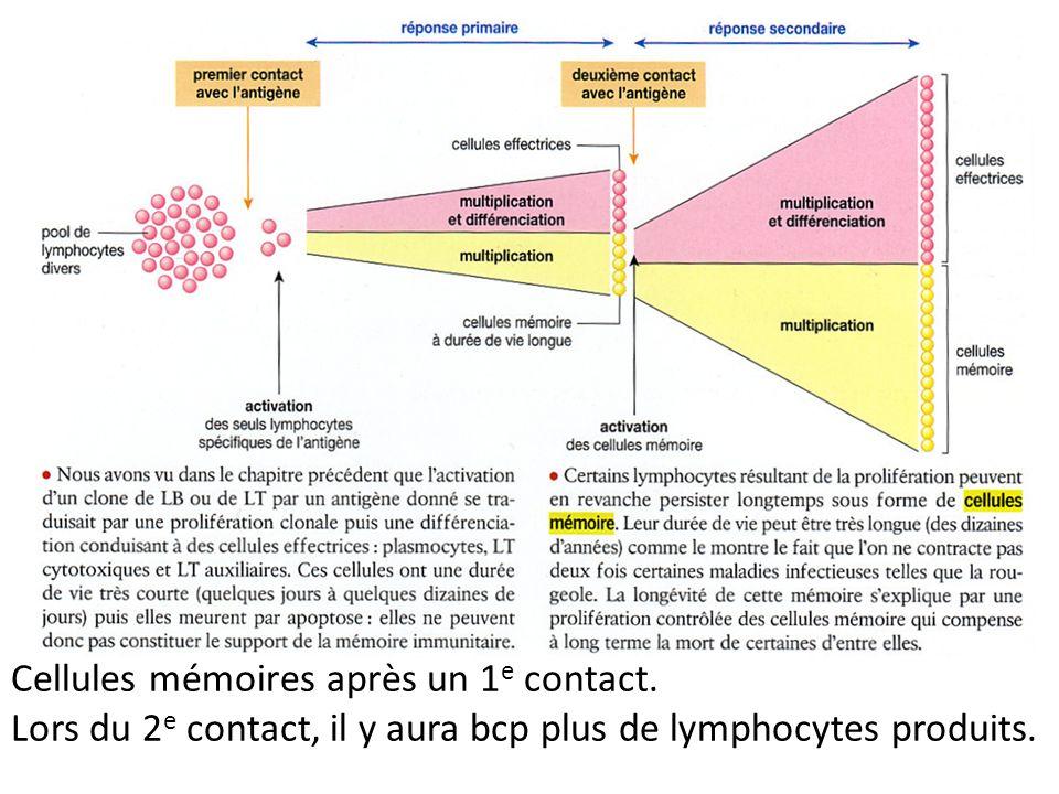 Cellules mémoires après un 1 e contact. Lors du 2 e contact, il y aura bcp plus de lymphocytes produits.