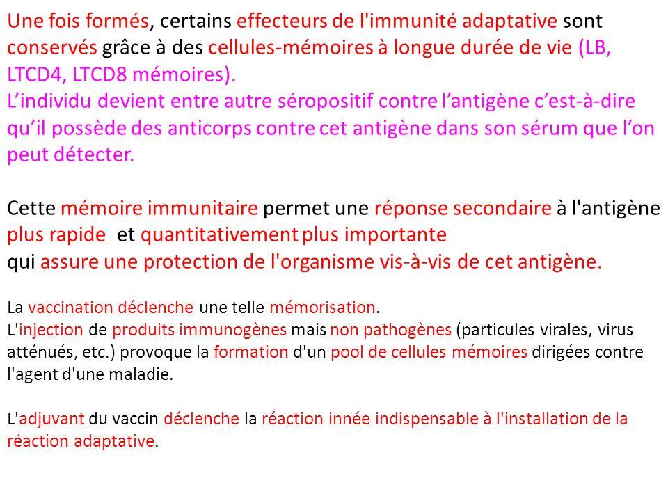 Une fois formés, certains effecteurs de l'immunité adaptative sont conservés grâce à des cellules-mémoires à longue durée de vie (LB, LTCD4, LTCD8 mém