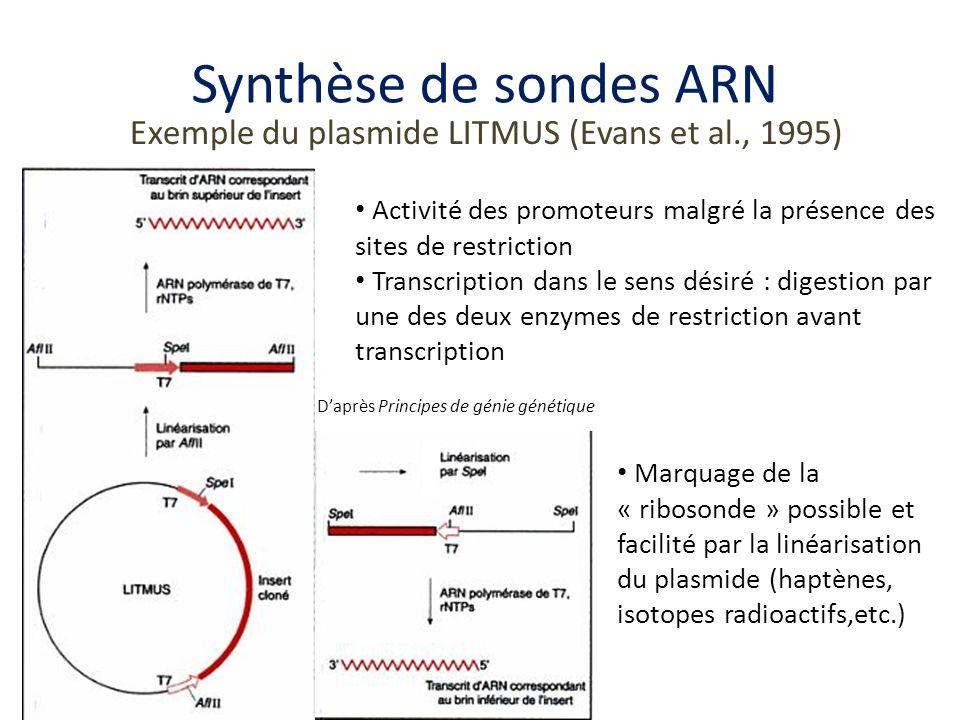 Exemple dutilisation de sondes ARN Cas de lhybridation in situ Daprès Developmental Biology 9e Online 1)Transcription de la ribosonde marquée à la digoxigénine (Dig) 2)Hybridation avec lARNm cible 3)Lavage-élimination hybrides non spécifiques 4) Ajout dun anti-corps anti Dig couplé à une phosphatase alcaline 5) Lavage 6) Réaction enzymatique et coloration