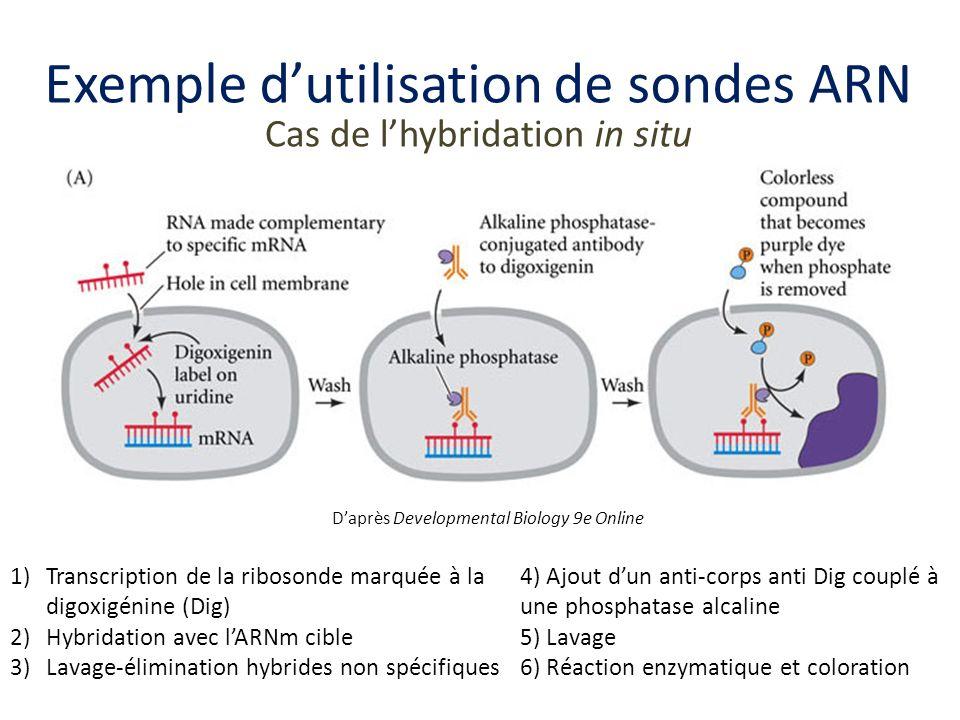Exemple dutilisation de sondes ARN Cas de lhybridation in situ Daprès Developmental Biology 9e Online 1)Transcription de la ribosonde marquée à la dig