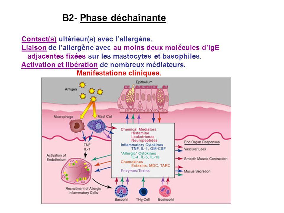 B2- Phase déchaînante Contact(s) ultérieur(s) avec lallergène. Liaison de lallergène avec au moins deux molécules dIgE adjacentes fixées sur les masto