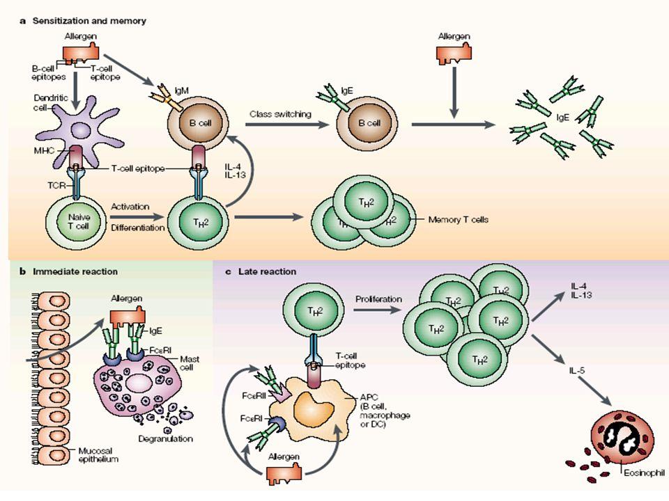 + Allergène IgE spécifique Histamine Dégranulation Test de Dégranulation des Basophiles Humains (TDBH)