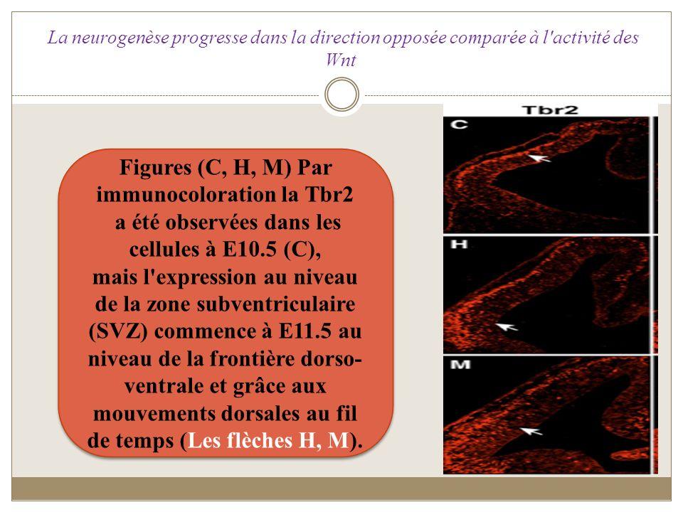 Figures (C, H, M) Par immunocoloration la Tbr2 a été observées dans les cellules à E10.5 (C), mais l'expression au niveau de la zone subventriculaire