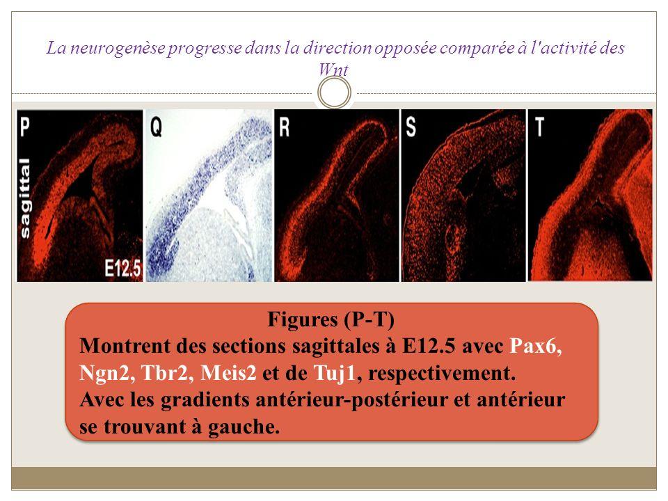Figures (P-T) Montrent des sections sagittales à E12.5 avec Pax6, Ngn2, Tbr2, Meis2 et de Tuj1, respectivement. Avec les gradients antérieur-postérieu